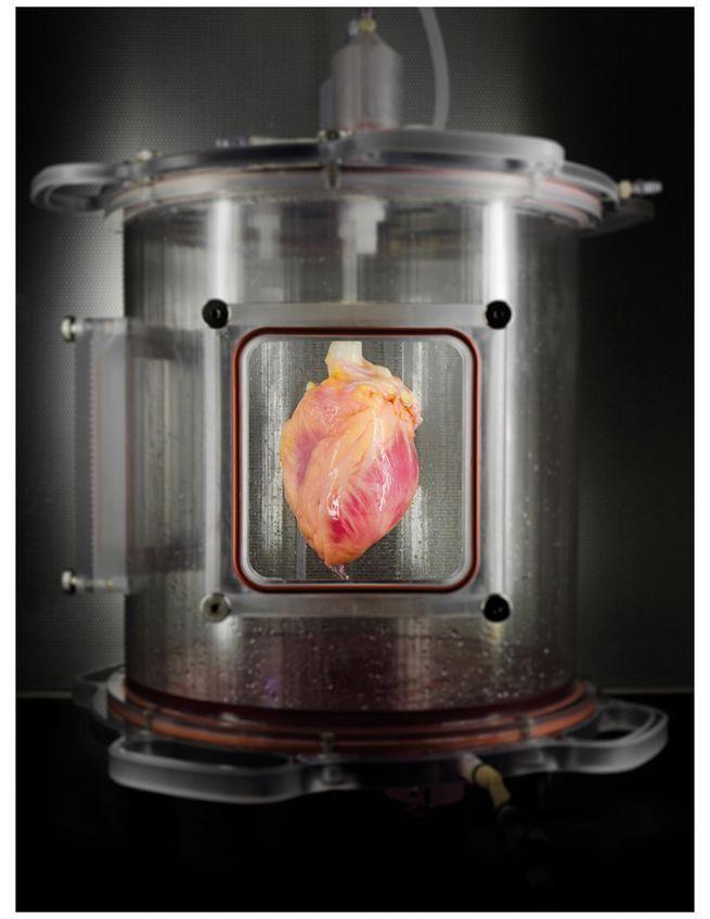 Regenerated heart