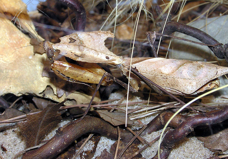 dead leaf mantis, bristol zoo