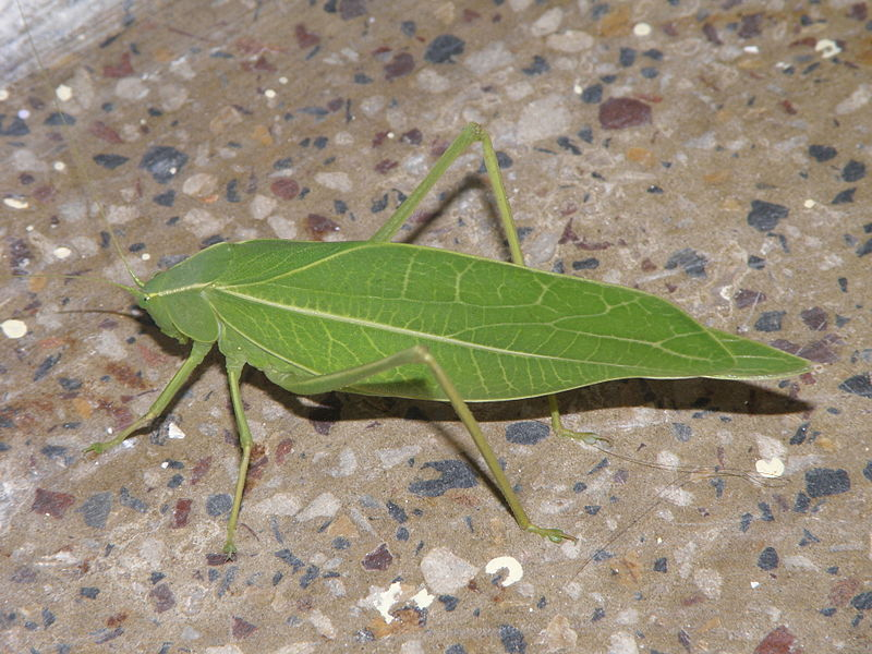 katydid india