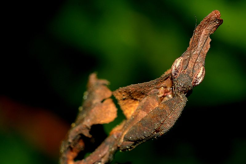 phyllocrania paradoxa F subadult