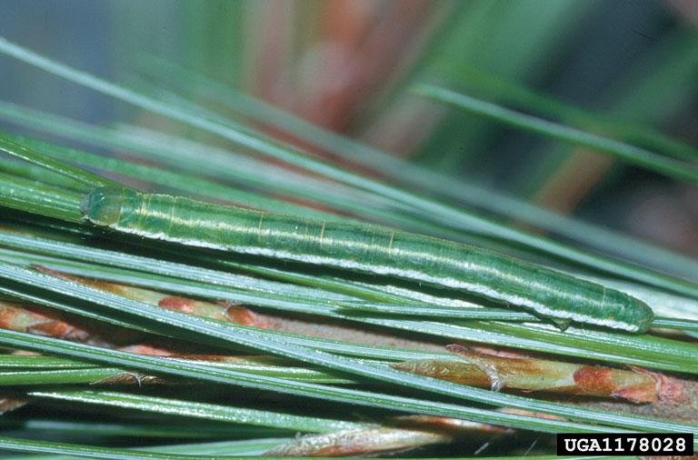 Eufidonia convergaria larva