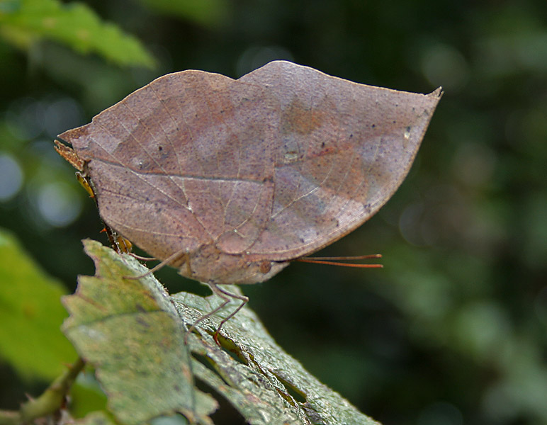Orange Oakleaf, Kallima inachus