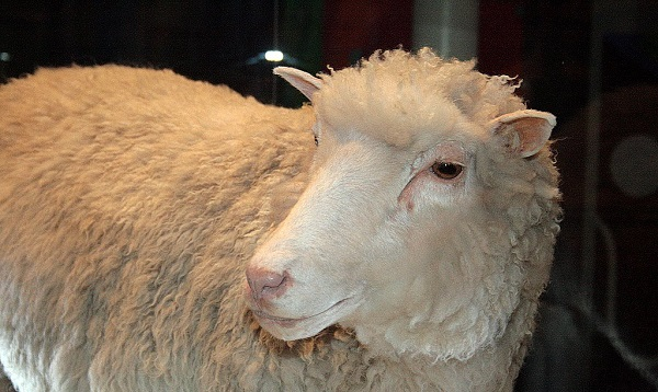 Dolly, the famously cloned sheep.