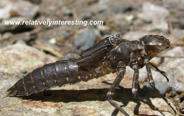 Dragonfly nymph exoskeleton