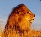lion, king of the jungle
