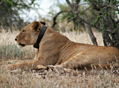 Lion tracked with collar
