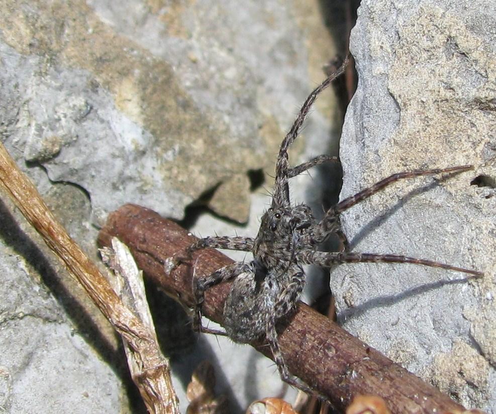 spider arachnid