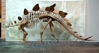 stegosaurur skeleton