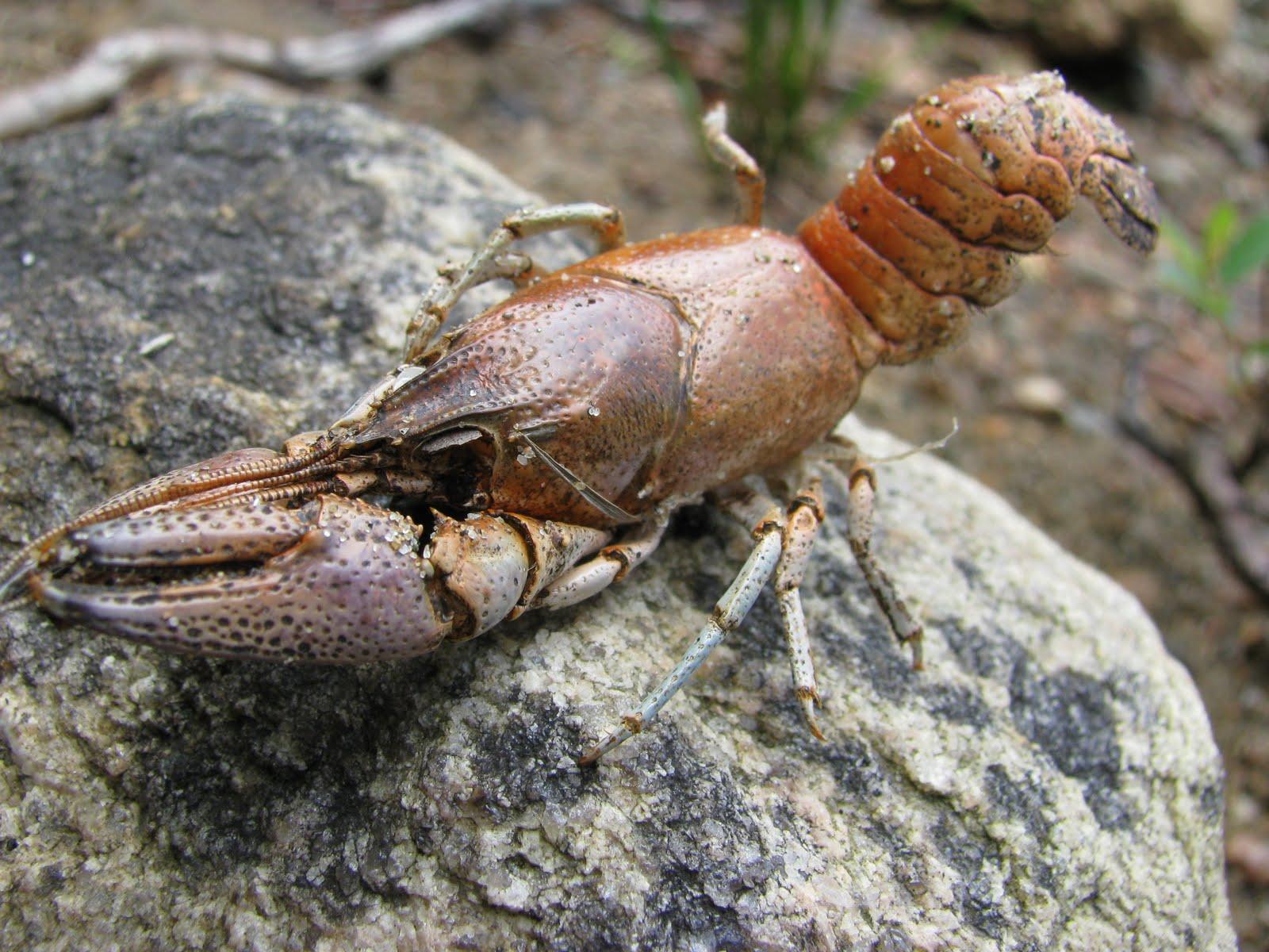 the real dr. zoidberg crayfish