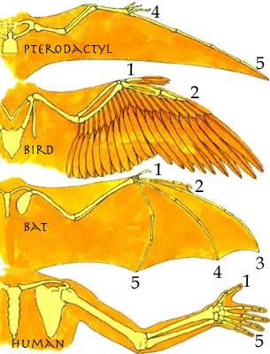 Wing Types: Birds, Bats, Pterosaurs