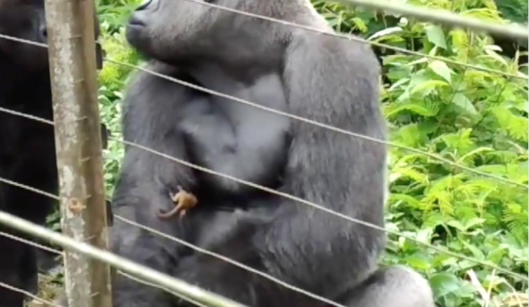bush baby has no fear of gorilla