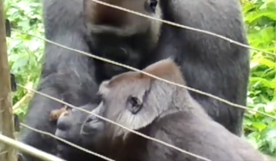 gorilla enclosure at the sanctuary
