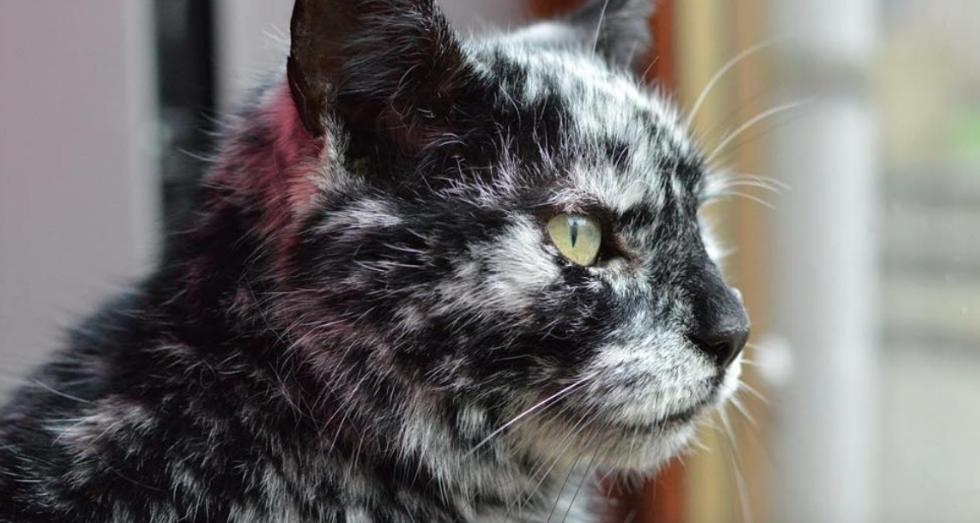 rare condition, vitiligo in cats