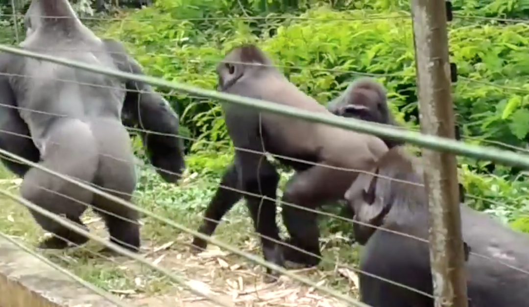 a group of gorillas