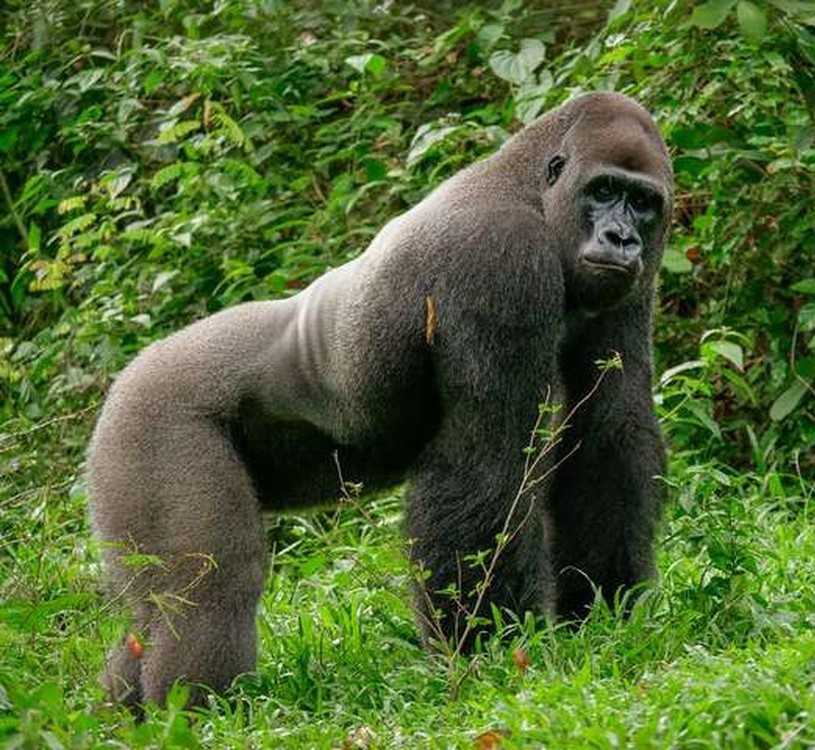 Bobo the gorilla