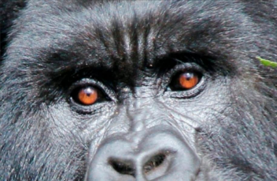 eyes of a gorilla
