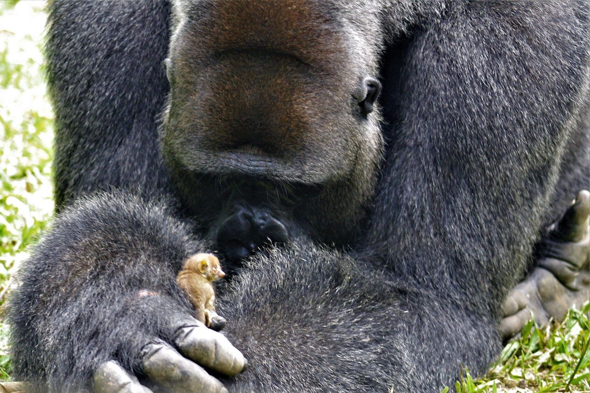 gorilla with his friend