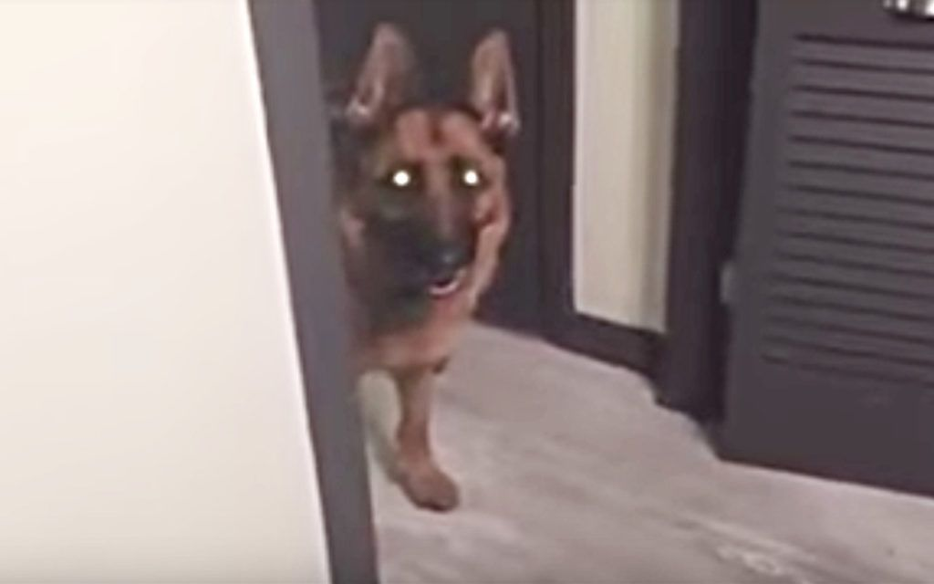 Dog Won't Stop Staring At Dad All Night, Dad Checks Video And Realizes Why